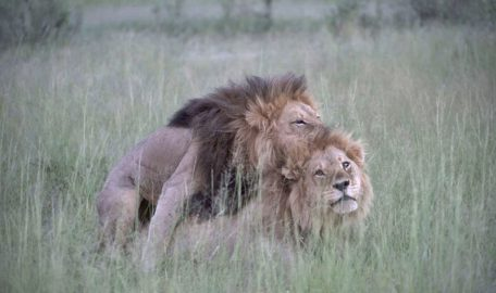 Homosexual behavior of two male lions. Copulating in the savannah.